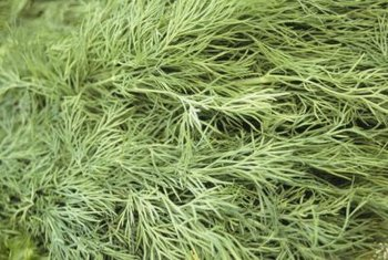 Soft, feathery dill leaves add a distinct flavor to dishes.