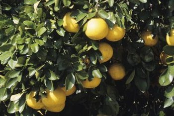 Grapefruits grow in U.S. Department of Agriculture zones 9 through 11.