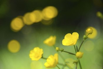Buttercups grow best in moist soil.
