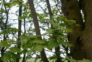Large, leafy sycamore trees can make a garden look like a forest.