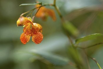 Jewelweed can grow to 5 feet tall and has invasive tendencies.