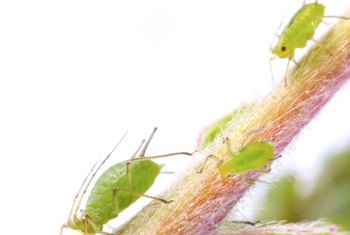Aphids are small, soft-bodied insects that feed on plant juices.