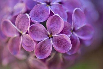 Whether creamy white, pale yellow or vibrant purple, it's easy to lose yourself in a sea of lilacs.