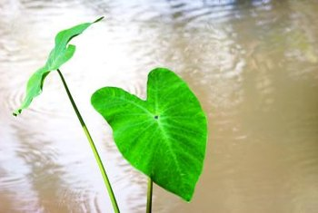 Some elephant ears leaves can grow up to 3 feet long.