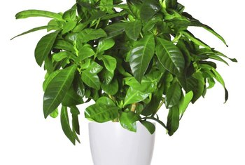 Dust silk plants regularly to keep them looking their best.