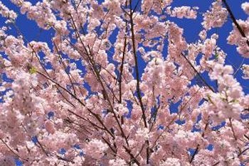 Let a blooming tree dress your yard for spring.