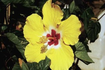 Tropical hibiscus take as long as two years to bloom from seed.