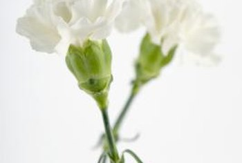 White carnations are the easiest to use when changing colors.