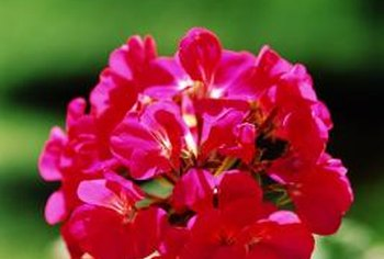 Geraniums make bright clusters of blooms when not attacked by pests.