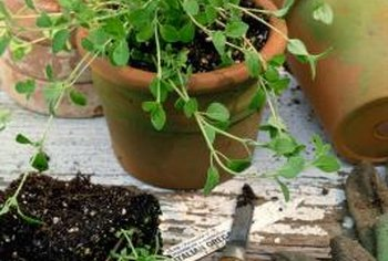 You can harvest oregano leaves at any time during the growing season.