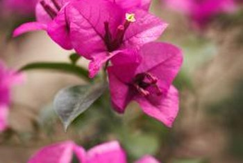 Bougainvillea species come in a variety of shades, including purple and red.