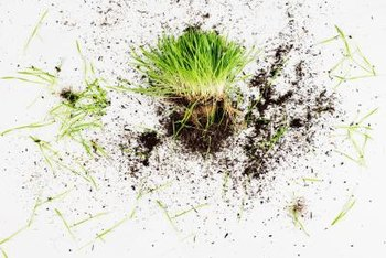 Your lawn may look dead on the surface, but the problem may not extend to the roots.