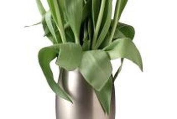 Unlike other cut flowers, tulips continue to grow and bend.