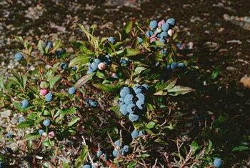 Blueberry bushes can be as large as 6 feet tall or as small as 1 1/2 feet tall, depending on the variety.