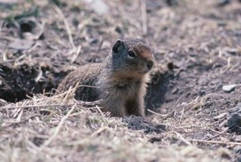 Ground squirrels spend a lot of time above ground.
