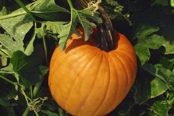 Check pumpkin vines regularly for leaf spots and other diseases symptoms.