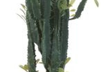 A cathedral cactus will drop its leaves during the winter and produce new ones in the spring.