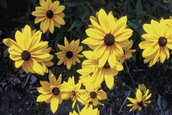 Black-eyed Susan flowers grow back from the roots every year.