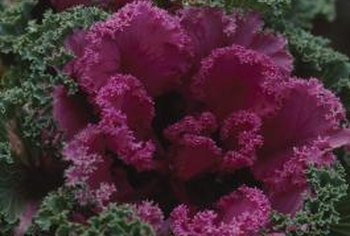 Flowering kale belongs to the same genus and species as culinary kale.