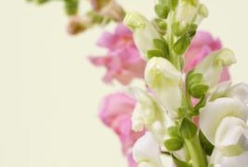 Snapdragons range from white and pink to deep purple and nearly black.