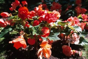 Begonia flower clusters brighten a garden border.