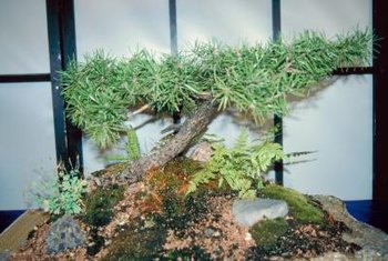 Japanese black pine also makes a suitable bonsai specemin.
