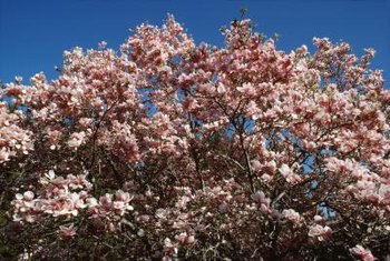 Magnolia trees bloom early in their growing season.
