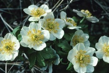 Charming anemone flowers tempt a number of hungry pests.