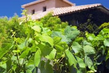 Grapevines can provide shade from the sun and a tasty snack.