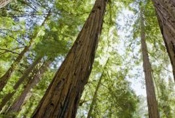 Mature redwood trees thrive in full sunlight.