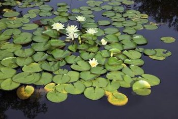 Waterlilies spread quickly blocking sunlight for penetrating the water surface.