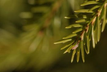 Depending on the species, spruce needles range in color from silver blue to olive green.
