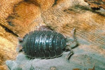 The armadillo bodies of sow bugs are dark gray, brown or blue.