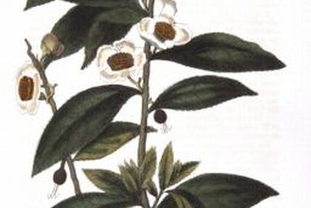 Camellia Sinensis produces white blossoms and large seed pods.