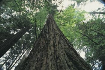 Hack-and-squirt and injection herbicide applications don't work through redwood's thick bark.