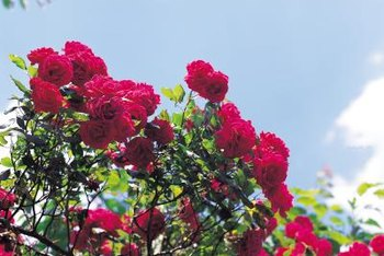 Giving rose bushes plenty of sun and room to grow can help prevent moisture-caused infestations.