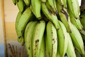 Plantains grow best at 80.6 degrees Fahrenheit; growing ceases at 100.4 degrees Fahrenheit.