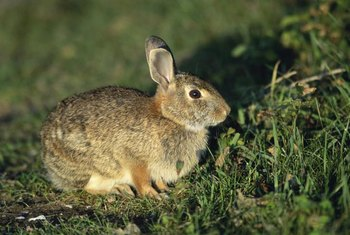 Rabbits have a taste for leafy greens and other garden delicacies.
