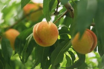 Peach trees require regular monitoring and care to be productive.