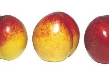 Allow about three years for harvest after nectarine grafting.