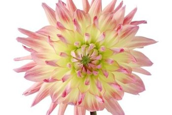 Dahlia blossoms come in a wide variety of forms and colors.