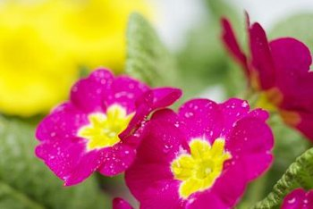 Primroses come in an array of bright colors.