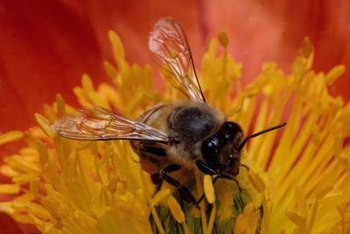 Bees feed on the nectar in flowers as they spread pollen.