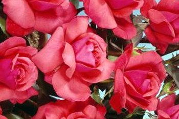 Rose plants must be grown away from contaminants to produce edible petals.