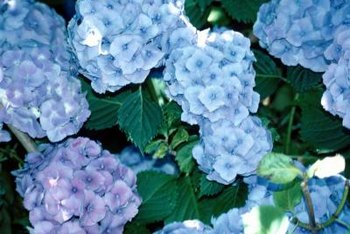 Blue hydrangea flowers add cool color to hot gardens.