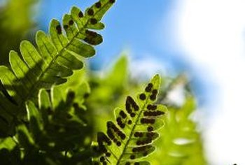 Ferns germinate from spores that grow on the underside of the fronds.