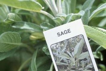Leaves of some sage varieties are naturally tinged or streaked with yellow.