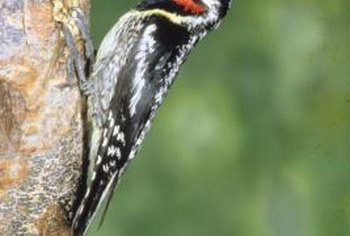 "The sapsucker's ""yellow"" belly is often an off-white or cream color instead."