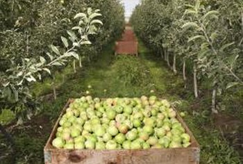 Apple trees are among the most widely cultivated fruit trees.