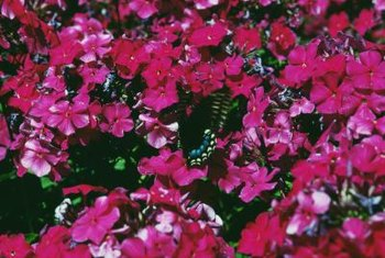 Phlox plants bear colorful flowers.